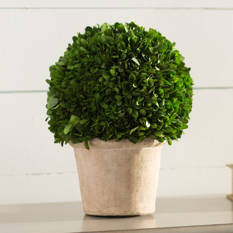 Lark Manor Preserved Greens Ball Boxwood Topiary in Pot & Reviews ...
