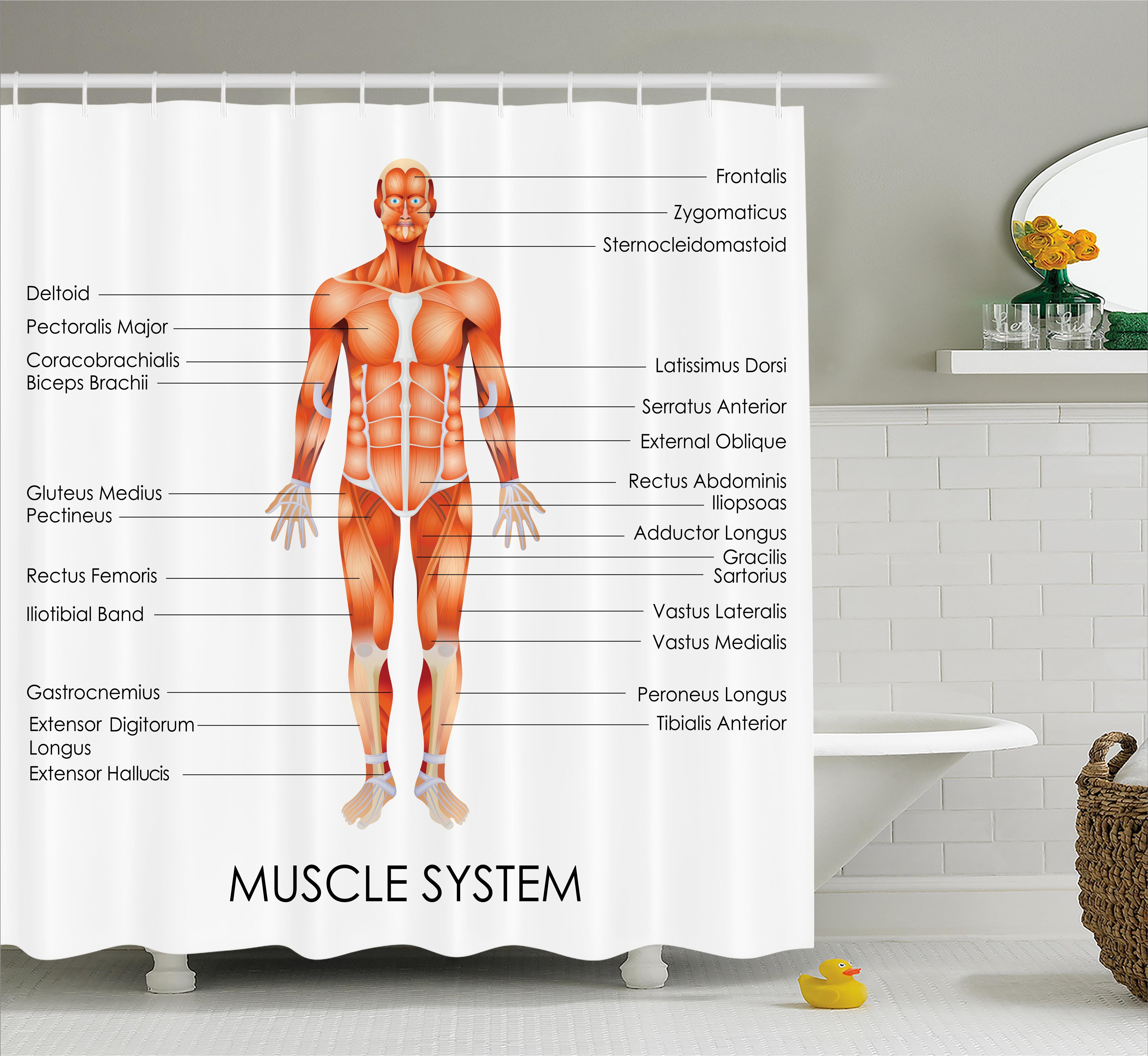 Ambesonne Human Anatomy Muscle System Diagram of Man Body Features ...