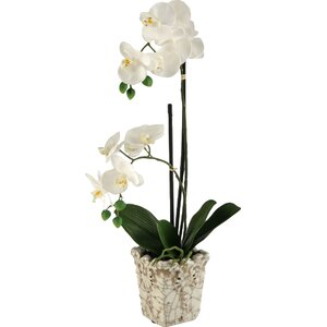 White Orchids in Crackle Ceramic Planter