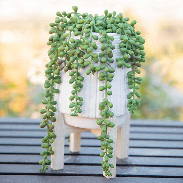 Wrought Studio Donkey Tail String Of Pearls Succulent
