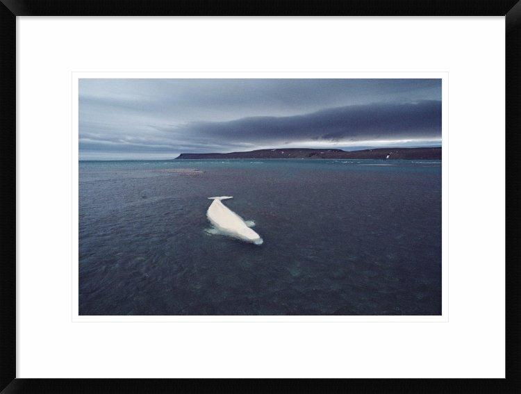 Global Gallery Stranded Beluga Whale Awaiting Incoming