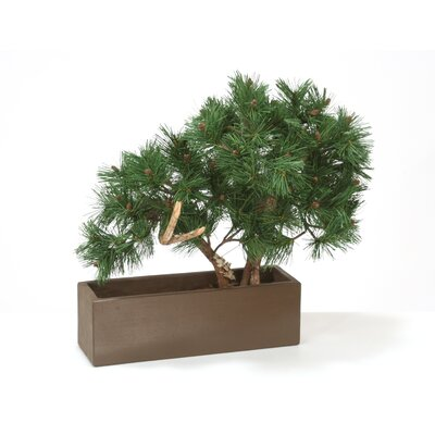 Pine Bonsai Tree In Planter