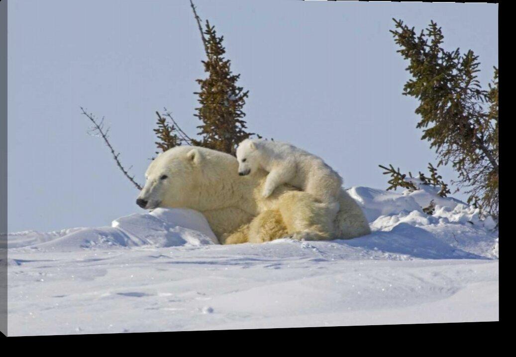 World Menagerie Canada Wapusk Np Polar Bear Cub On