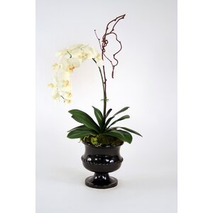 Cream-White Phalaenopsis Orchid with Kiwi Vine in Urn