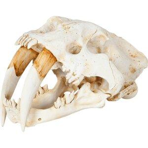Sabretooth Skull Replica