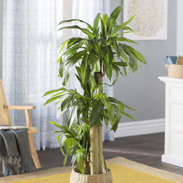 Beachcrest Home Corn Stalk Dracaena Silk Floor Plant In