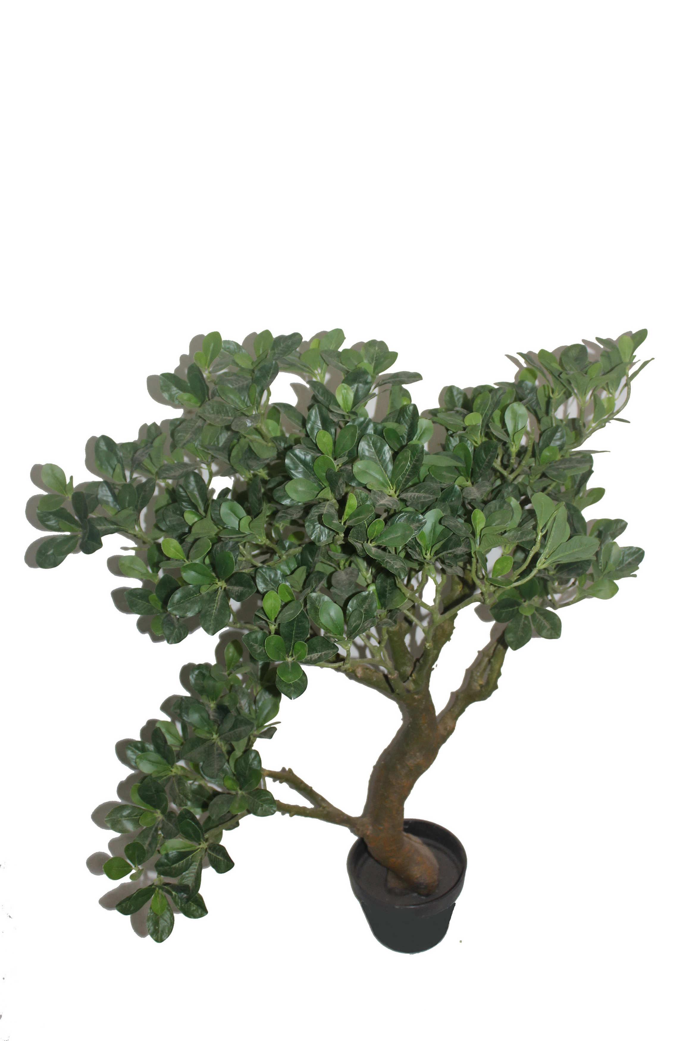 Bonsai Trees Medford Oregon Bonsai Tree