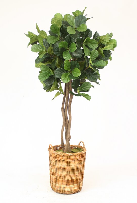 fiddle leaf fig tree in basket - Fiddle Leaf Fig Tree