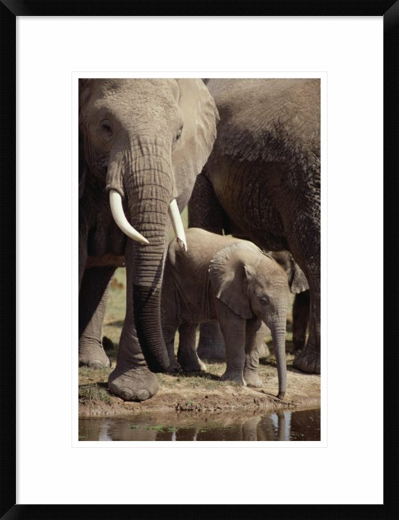 Global Gallery African Elephants And Baby Drinking At