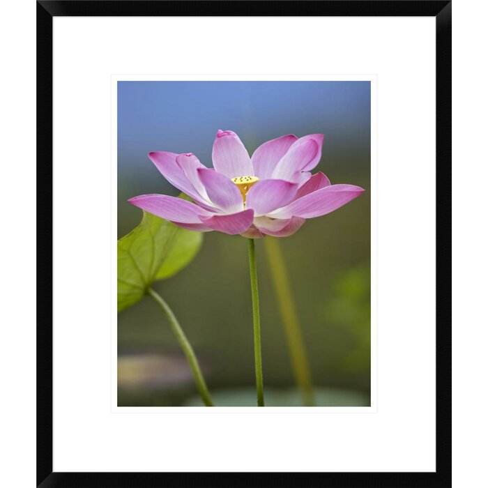 Global Gallery Sacred Lotus Flower Native To Asia By Tim Fitzharris