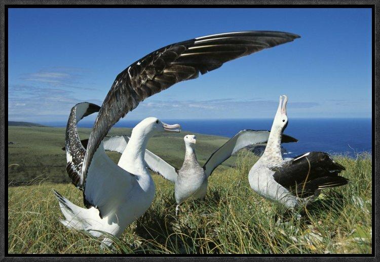 East Urban Home Antipodean Albatross Courtship Display
