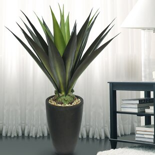 Plantes Dintérieur Espèces De Plantes Aloès Wayfairca