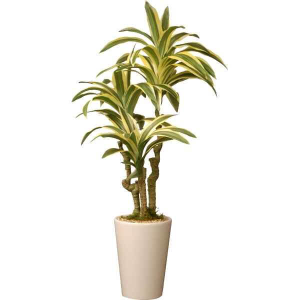 Mistana Dracaena Palm Plant In Pot Amp Reviews Wayfair