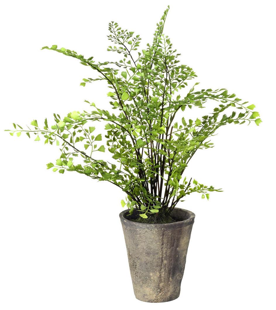 Maiden Hair Fern Plant in a Pot