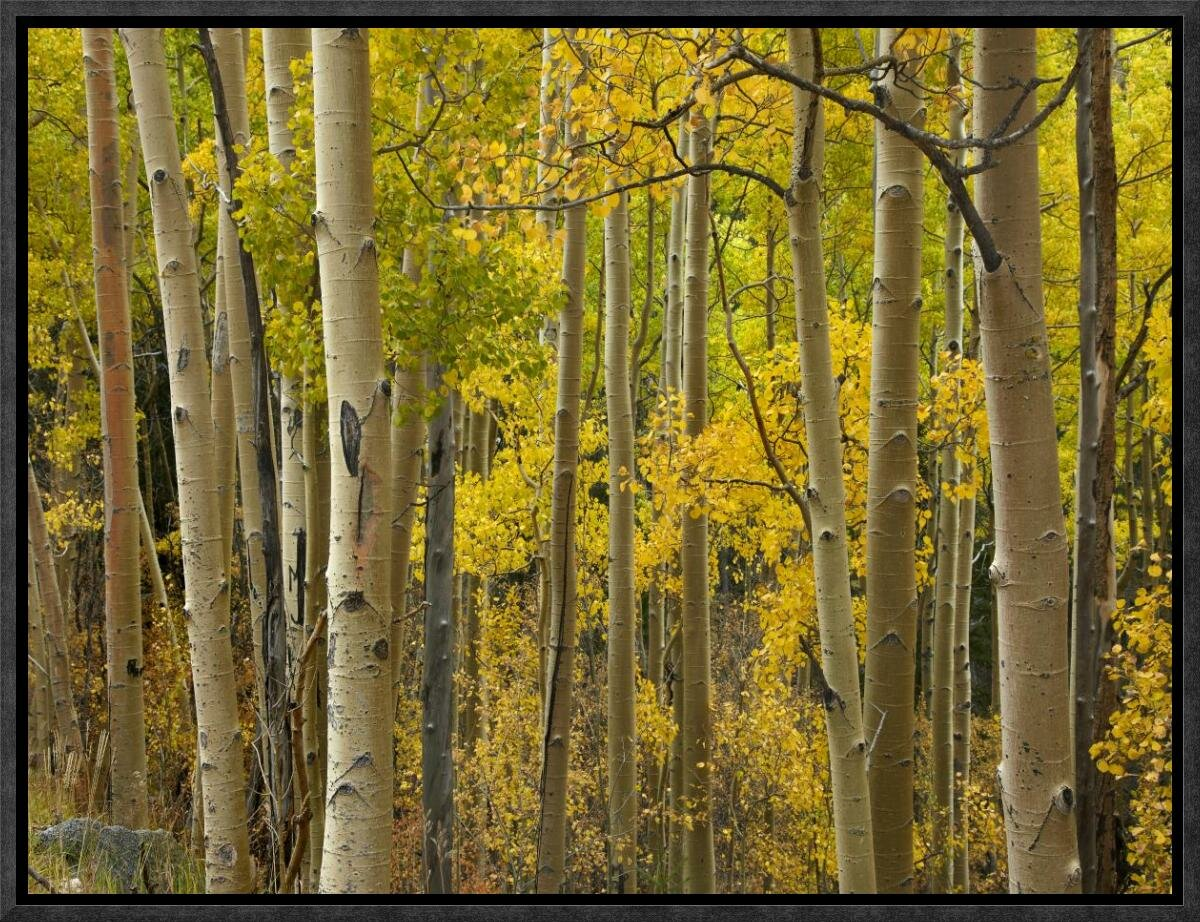 Global Gallery Aspen Trees in Autumn, Santa Fe National Forest Near ...