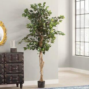 Ficus Silk Tree In Pot