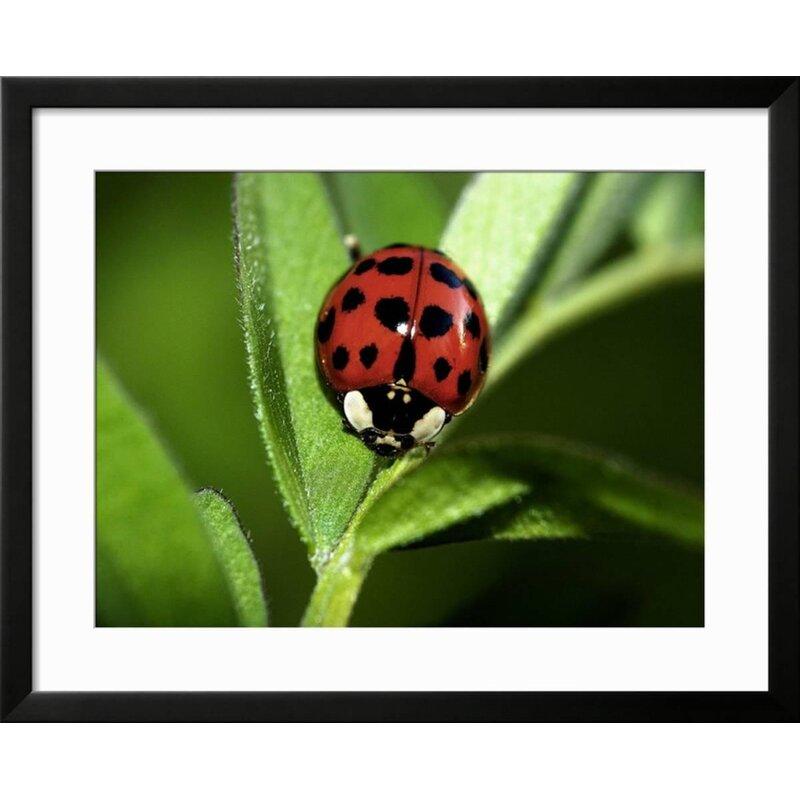 Ebern Designs Nine Spotted Lady Bug Beetle Framed Photographic