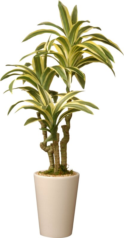 Mistana Dracaena Palm Plant In Pot Amp Reviews Wayfair Ca