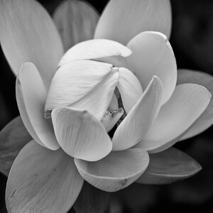 'Lotus I' Photographic Print