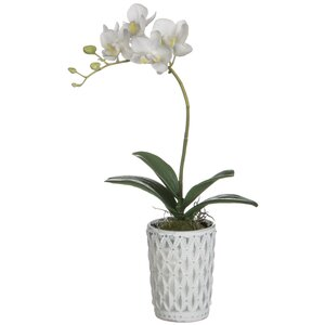 White Phalaenopsis Orchid Floral Arrangement in Pot
