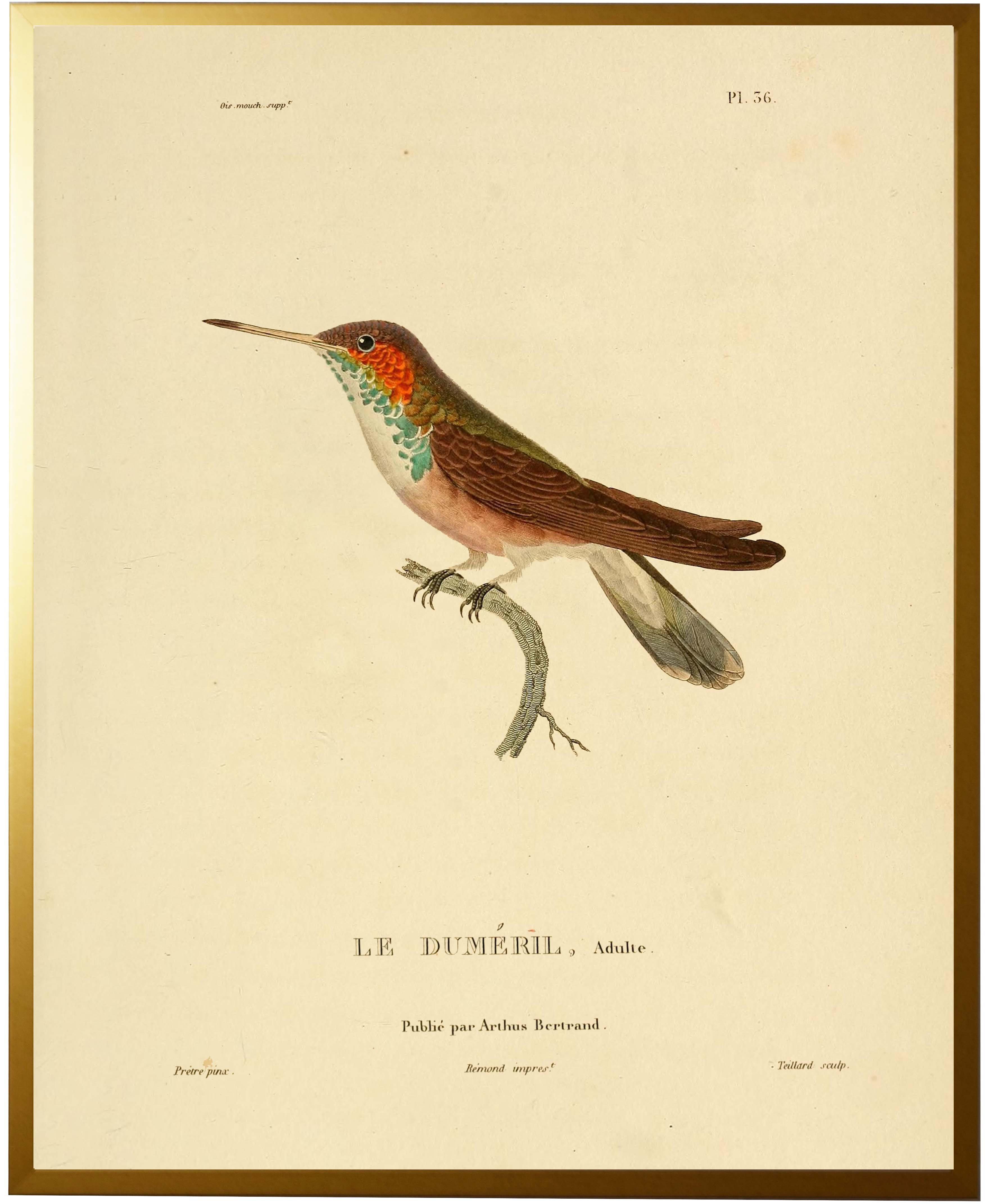 Bloomsbury Market \'Hummingbird Plate 36\' Framed Graphic Art Print ...