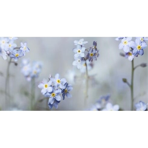 Forget Me Nots by Ian Winstanley Canvas Wall Art