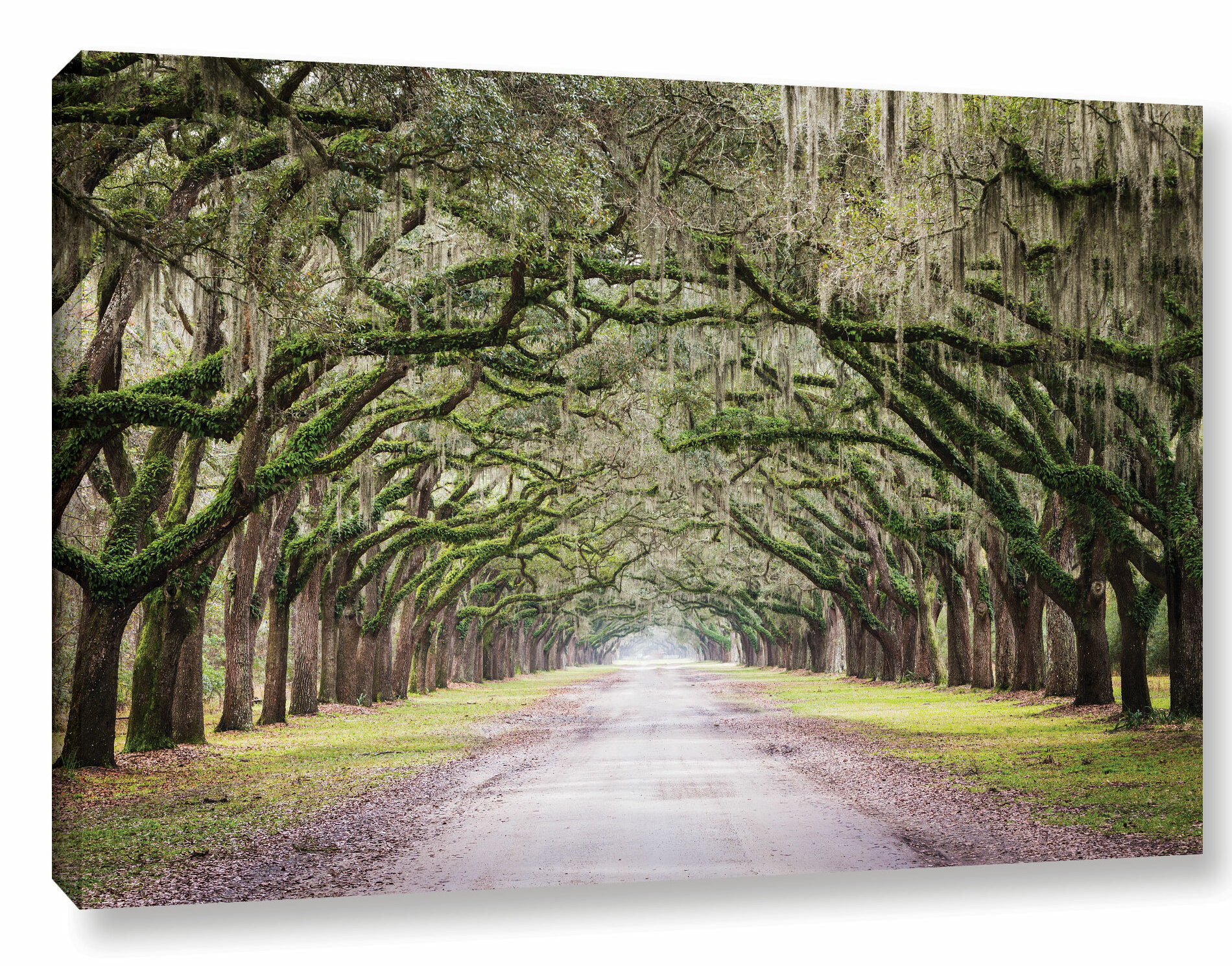 Oak Trees With Spanish Moss In Savanna Georgia Framed Photographic Print On Canvas Green Brown Yellow Reviews Allmodern