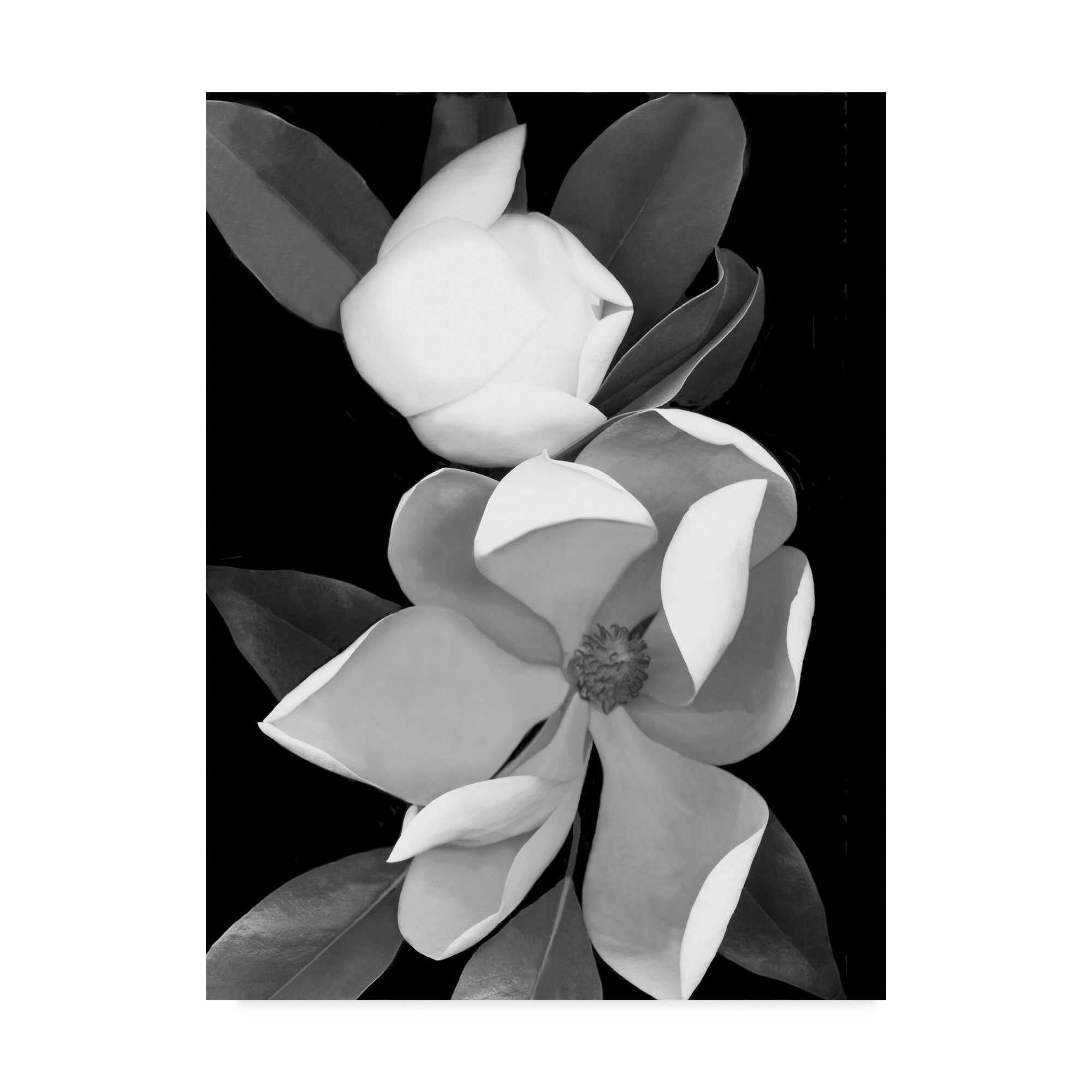 Trademark Art White Magnolia Black And White By Graphic Art Print