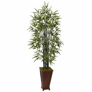Indoor Bamboo Plants You\'ll Love | Wayfair