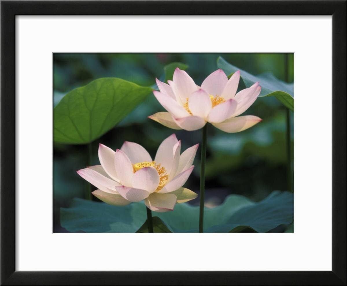 Ebern Designs Lotus Flower In Blossom China Framed Photographic
