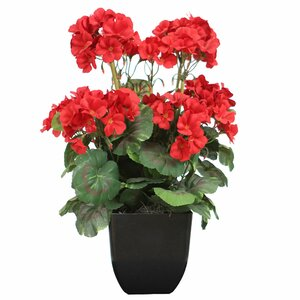 Geranium Bush in a Pot