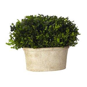 Preserved Boxwood Bush in Clay Pot