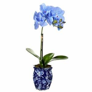 Caleb Potted Phalaenopsis