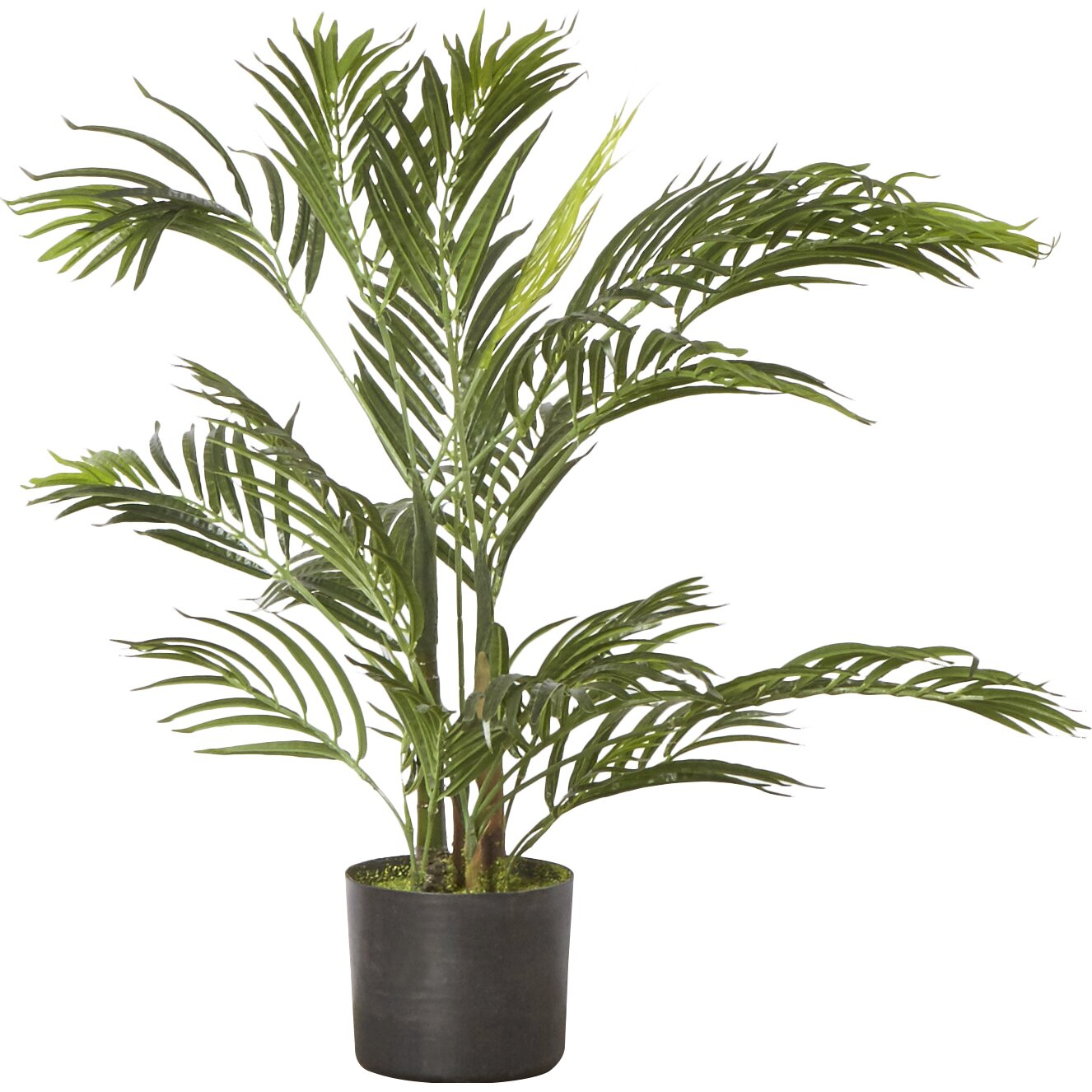 Areca palm tree floor plant reviews birch lane for Pictures of areca palm plants