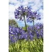 Magnolia Box Agapanthus Nutans by Andrew McRobb Photographic Print