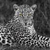 DEInternationalGraphics Leopard Portrait by Xavier Ortega Photographic Print Plaque