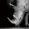 Hazelwood Home 'Rhino' Photographic Print on Glass
