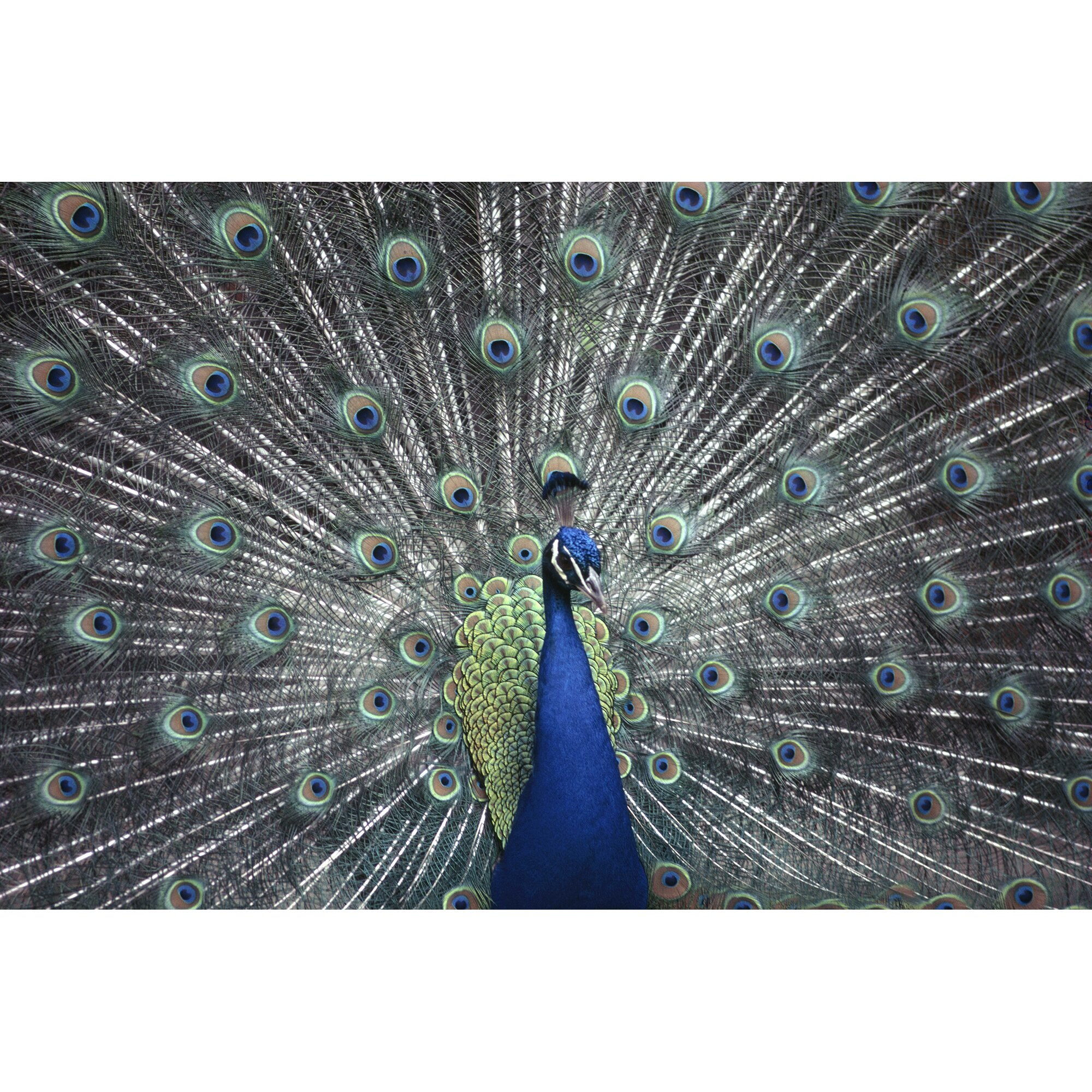 brewster home fashions national geographic peacock wall national geographic wall murals wall decals amp murals