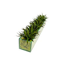 Agave in Rectangular Glass Box with Green Moss