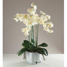 Phalaenopsis Orchid in Vase