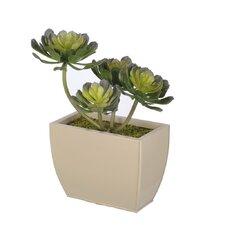 Artificial Aeonium Succulent Desk Top Plant in Decorative Vase