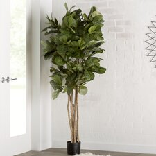 Fiddle Leaf Fig Tree in Pot
