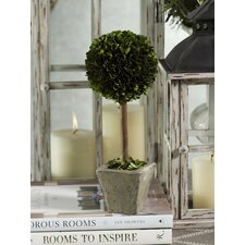 Boxwood Round Topiary Desktop Plant in Pot