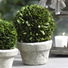 7-Inch Tall Preserved Boxwood Ball Potted Topiary (Set of 2)