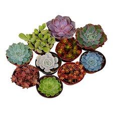 Assorted Desk Top Live Succulent Plant in Pot