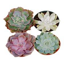 Rosette Assoeted Desk Top Live Succulent Plant in Pot (Set of 4)