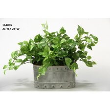Pothos Ivy Floor Plant in Planter