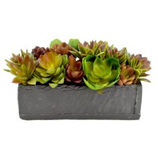 Mixed Variety of Echeveria Cactus Desk Top Plant in Planter