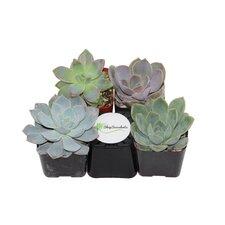 4 Pack Rosette Succulent Desk Top Plant in Pot