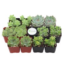 12 Pack Desk Top Plant in Pot